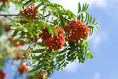 Rowan branches covered with beautiful red berries — Stock Photo