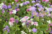 Purple flowers in flowering garden — Foto Stock