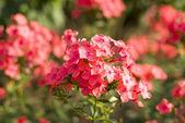 Pink flowers in garden — Stock Photo