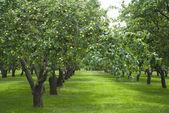 Apple gardens in Kolomenskoye,Moscow ,Russia — Stock Photo