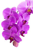 Purple beautiful orchid isolated on white background — Stock Photo