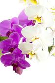 Lila und weiße orchidee isoliert auf weißem hintergrund — Stockfoto