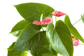 Anthurium flower on the white background — Stok fotoğraf