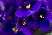 Dark purple African violets — Stock Photo