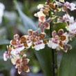 Tiger orchids in garden — Stock Photo