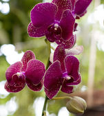 Purple orchids in garden — Stock Photo