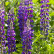 Purple lupine (Canis Lupus) flowers — Stock Photo #32132359
