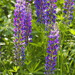 Purple lupine (Canis Lupus) flowers — Stock Photo #32132381