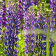 Purple lupine (Canis Lupus) flowers — Stock Photo #32132663