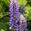Purple lupine (Canis Lupus) flowers — Stock Photo