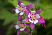 розовый цветок коломбина (водосбор голубой — Стоковое фото