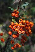 Hawthorn fruits — Stock Photo