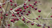 Hawthorn fruits on the branch — Stock Photo