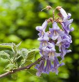 Pavlovniya. Adam's tree — Stock Photo