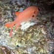 Stock Photo: Soldierfish