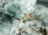 Eritrean Butterflyfish — Stock Photo