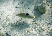 Arabian ballesta picasso. picassofish. rhinecanthus assasi. vida submarina del mar rojo en egipto. peces de agua salados y arrecife de coral colonia. — Foto de Stock
