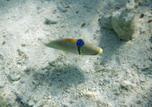 Peixe-porco picasso árabe. picassofish. rhinecanthus assasi. vida subaquática do mar vermelho no egito. peixes de água salgadas e recifes de coral da colônia. — Foto Stock