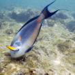 Stock Photo: surgeonfish