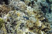 Maxima clam — Stockfoto