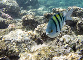 Damselfish — Stock Photo