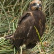 Stock Photo: Marsh Harrier 2012 010