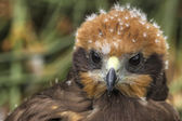 Marsh Harrier 2012 002 — Stock Photo
