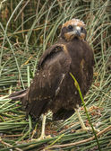 Marsh Harrier 2012 010 — Stock Photo