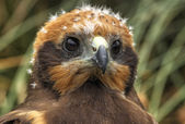 Marsh Harrier 2012 001 — Stock Photo