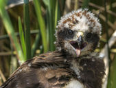 Marsh Harrier 2012 014 — Stock Photo