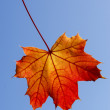 Autumn Leaves 2012  012 — Stock Photo