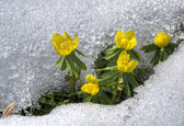 Winter aconite — Stock Photo