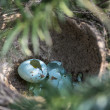 Thrush egg 02 — Stock Photo