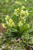 Cowslip 2013 03 — Stock Photo
