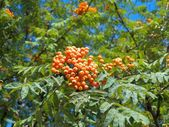 Branch of mountain red ash — Stock Photo
