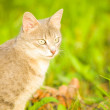 gray cat on a background of green grass. — Lizenzfreies Foto