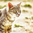 Gray cat near the bowl — Stock Photo