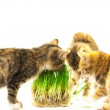 Stock Video: Cat eating grass