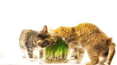 Cat eating grass — Stock Video