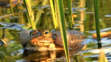 Frog in pond — Stock Video
