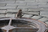 Sparrow on manhole — Stock Photo
