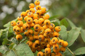 Mountain ash branch on a dim background — Foto Stock
