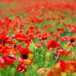 Poppy field — Stock Photo