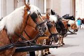Horses in harness — Stock Photo