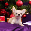 Chihuahua on the pillow — Stockfoto