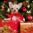Chihuahua puppy wearing christmas dress — Stockfoto