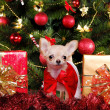 Chihuahua puppy wearing christmas dress — Photo