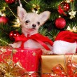 Foto Stock: Chihuahua puppy wearing christmas dress