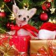 Chihuahua puppy wearing christmas dress — Stock Photo