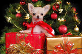 Chihuahua puppy wearing christmas dress — Stock Photo